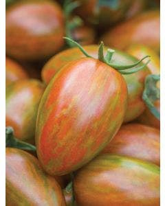 Tomato, Shimmer Hybrid