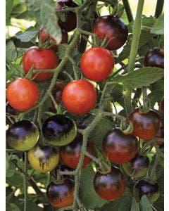 Tomato, Midnight Snack Hybrid