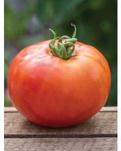 Tomato, BushSteak Hybrid