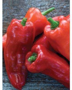 Pepper, Sweet, Costa Rican Sweet Hybrid