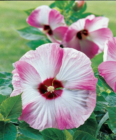 Hibiscus, Pink Swirl