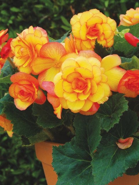 Begonia, On Top Sunglow