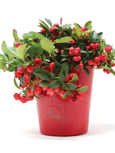 Herb, Wintergreen with Decorative Pot