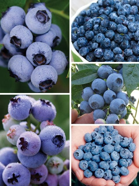 Blueberry Collection