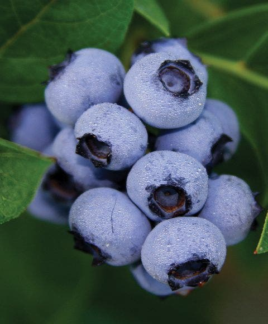 Blueberry, Bluecrop