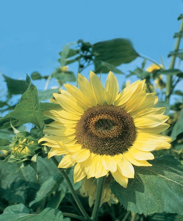Sunflower, Lemon Queen Organic