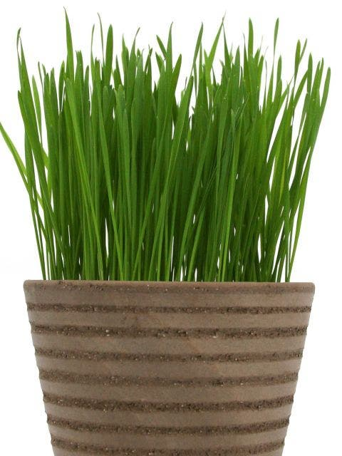 Sprout Seed, Wheatgrass Organic