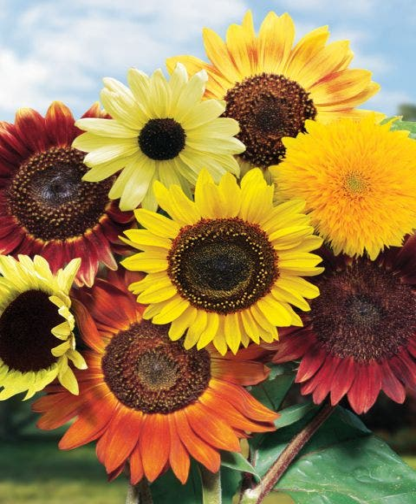 Sunflower, Fun N Sun Blend