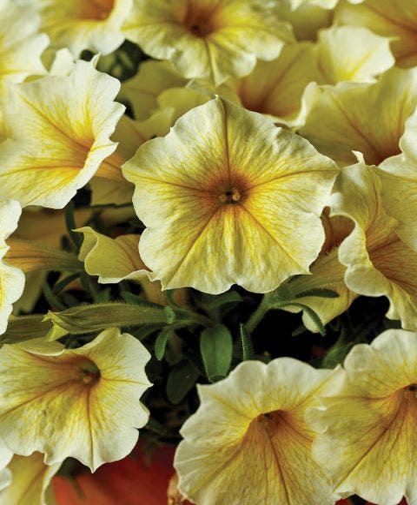 Petunia, Bee's Knees