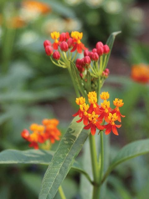 Asclepias, Red Butterfly