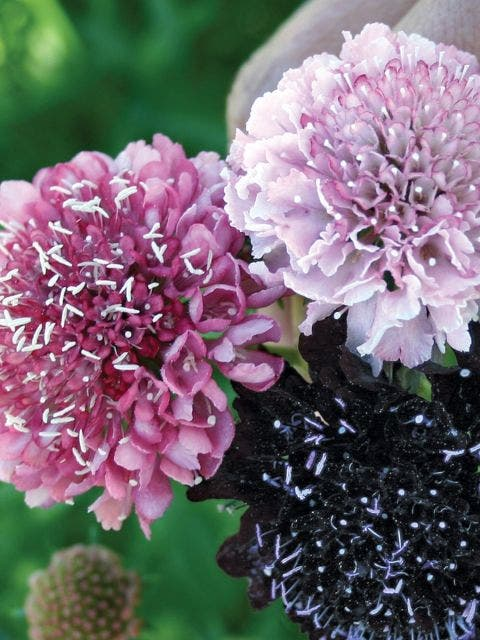 Scabiosa, Summer Berries Mixed Colors