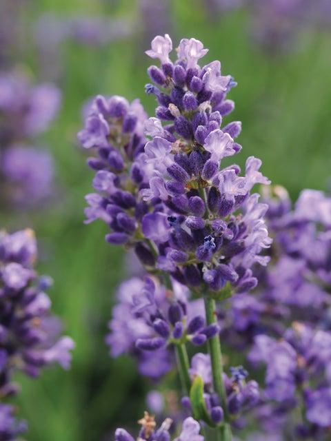 Lavender, SuperBlue PPAF
