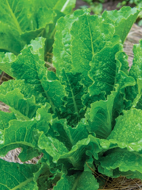 Lettuce, Fan Dance