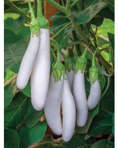 Eggplant, White Knight Hybrid