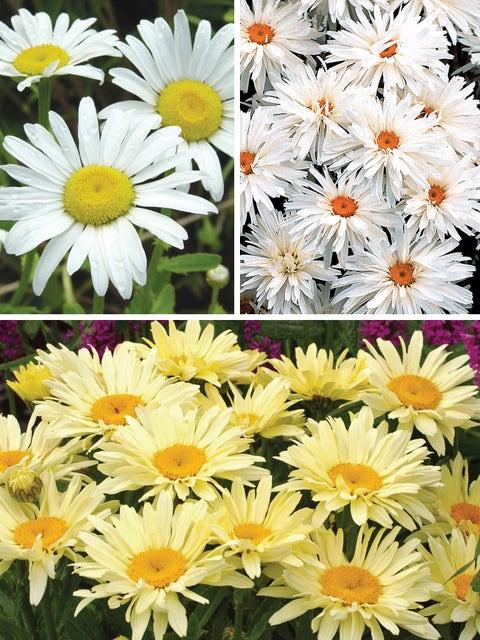 Shasta Daisy Collection