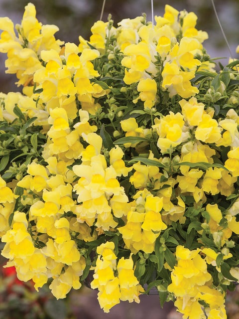 Snapdragon, Candy Showers Yellow Hybrid