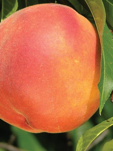 Peach Tree, Crimson Rocket