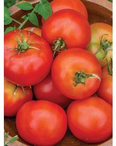Tomato, Summer Girl Hybrid