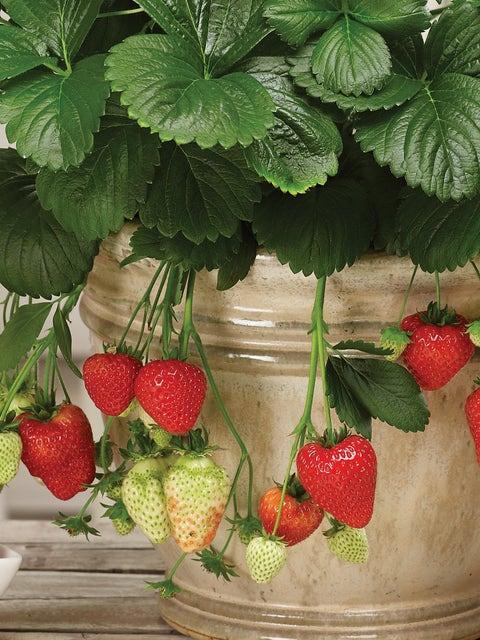Strawberry, Montana
