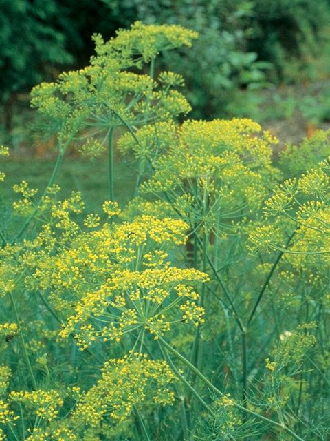Herb, Dill Bouquet Organic