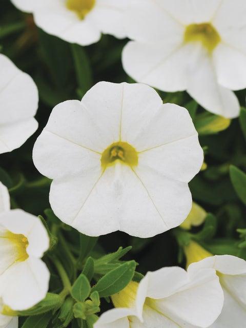 Calibrachoa, Kabloom White Hybrid