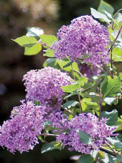 Lilac, Bloomerang Dark Purple PPAF