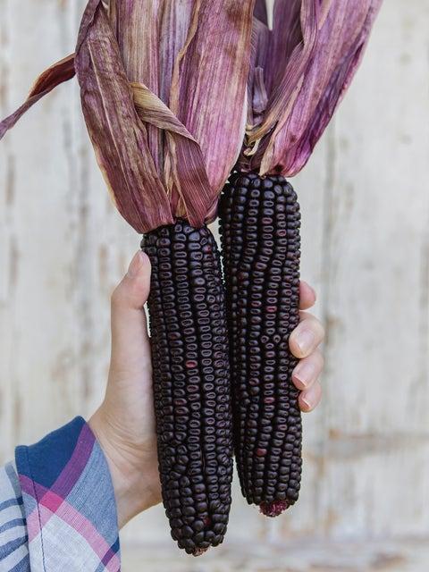 Corn, Full Season Suntava Purple Hybrid