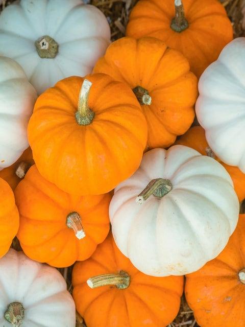 Pumpkin, Mini Harvest Hybrid Blend
