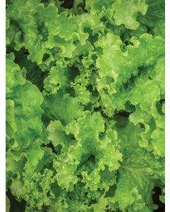 Lettuce, Green Ice