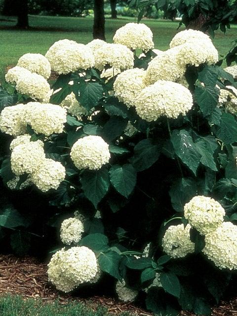 Hydrangea, Arborescens Annabelle