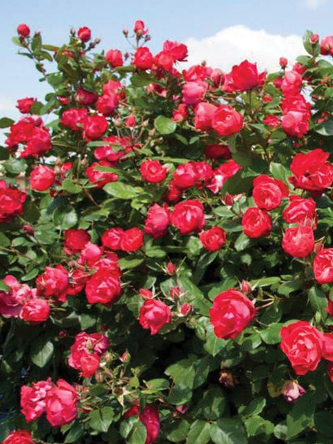 Rose, Oso Easy Double Red PPAF®