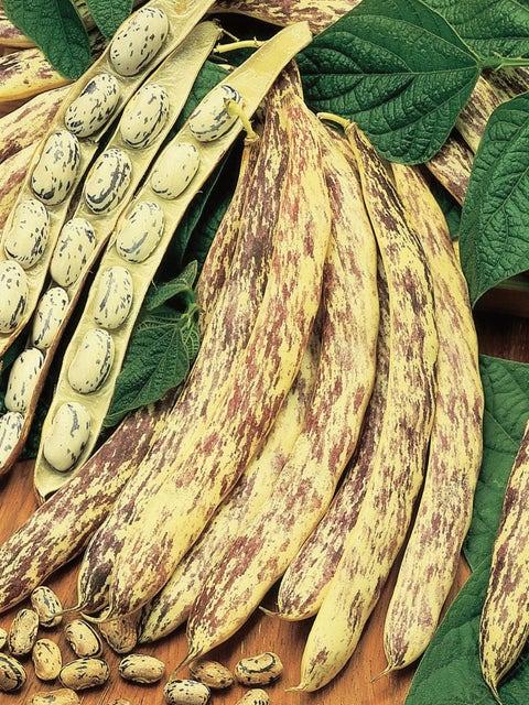 Bean Shell, Bush Dragons Tongue Wax