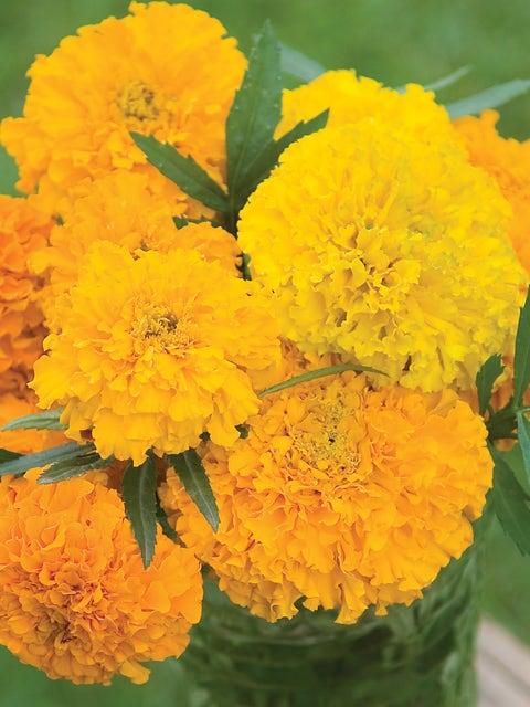 Marigold, Sunset Giants Mix