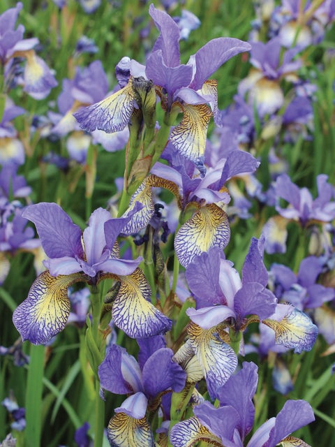 Iris, Peacock Butterfly Pennywhistle