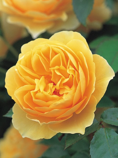 Rose, Graham Thomas