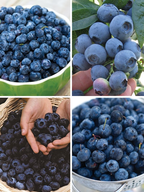 Blueberry, Favorite Collection