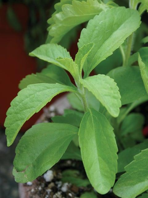 Stevia, Sweet Leaf