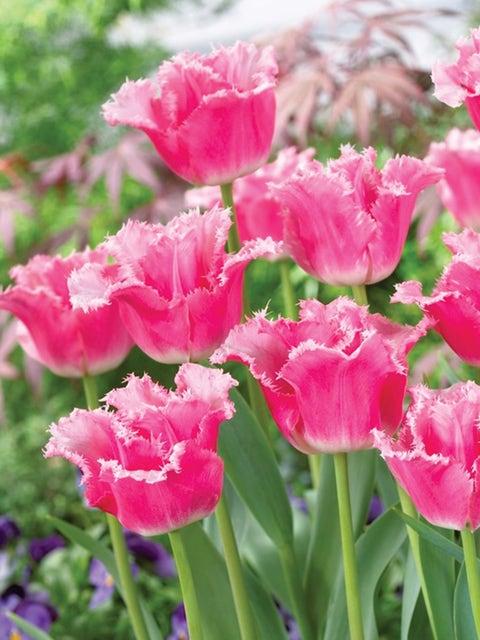 Tulip, Izumi