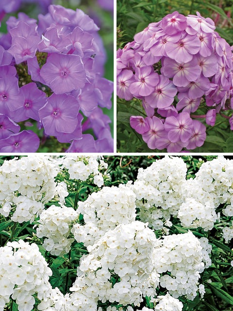 Phlox Collection, Ultimate
