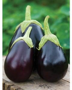 Eggplant, Early Midnight Hybrid