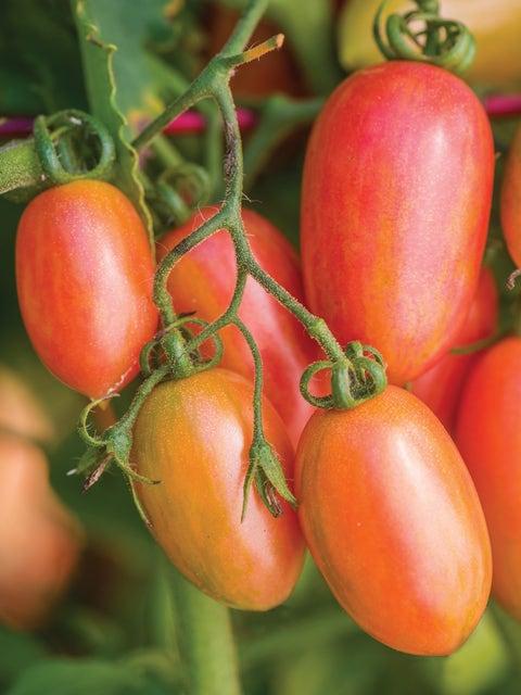 Tomato, Maglia Rosa