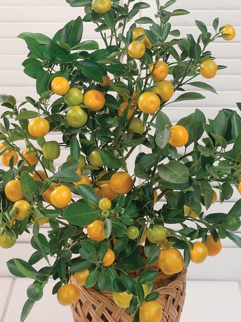 Washington Navel Orange Citrus Tree