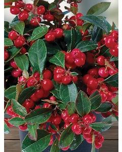 Herb, Wintergreen