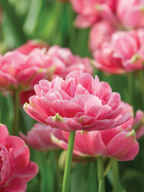 Tulip, Aveyron