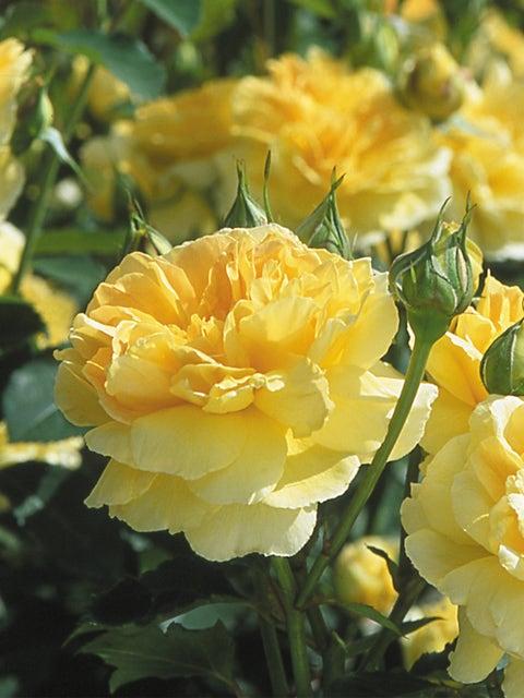 English Rose, Molineux