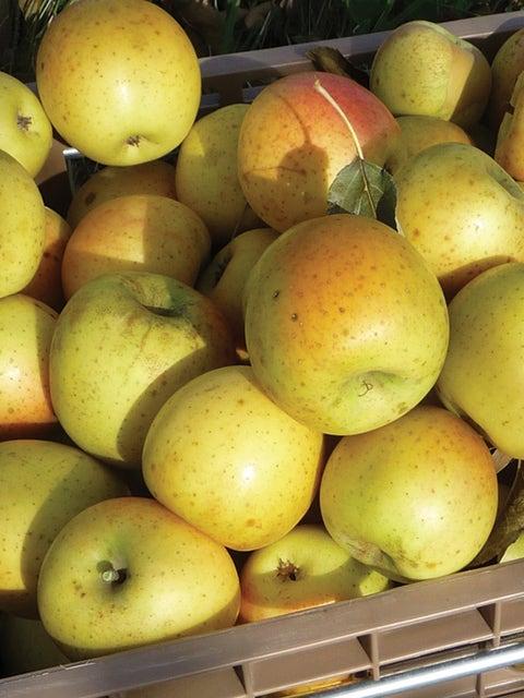 Apple, Gold Rush
