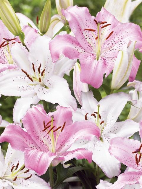 Lily, Fragrant Wedding Bells