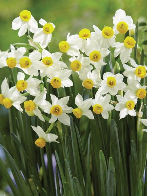 Daffodil, Canaliculatis