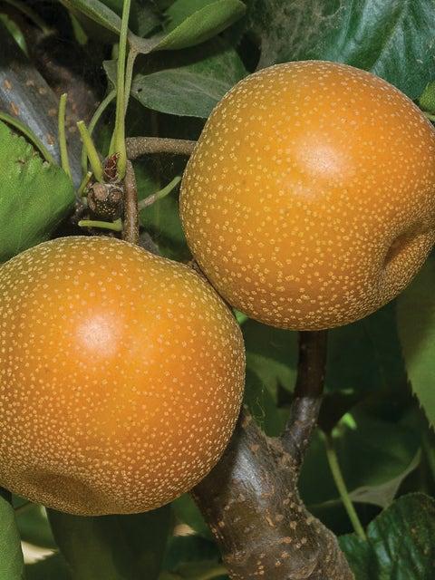 Pear, Asian Hosui