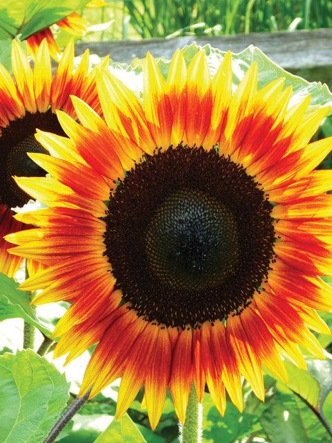 Sunflower, Fire Catcher